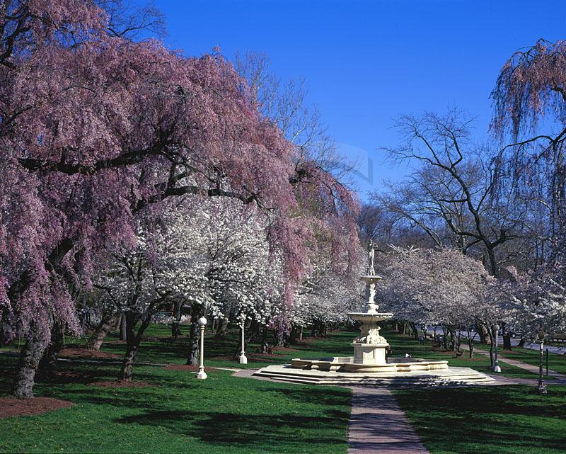 Brandywine Park, Cherry Blossoms and Josephine Fountain