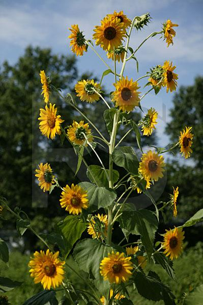 Sunflowers, Barclay Farmstead