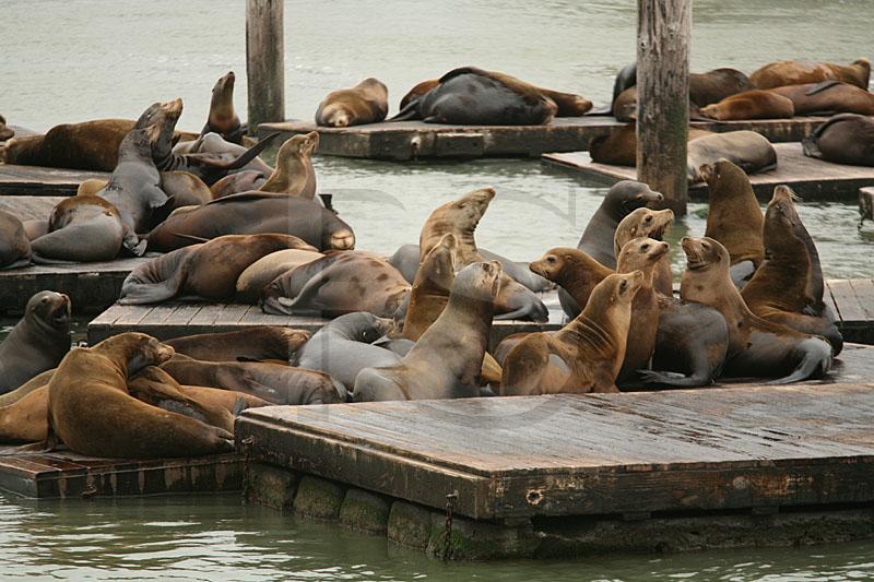 Sea Lions Fisherman S Wharf